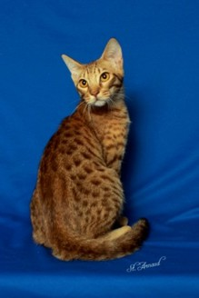 GC, RW Catiators LTR-14 Meteor a chocolate Ocicat