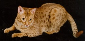 cinnamon colored Ocicat