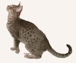 blue colored Ocicat