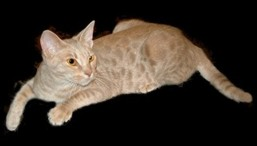 fawn colored Ocicat