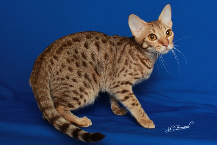 Tink, a chocolate spotted Ocicat