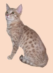 lavender colored Ocicat