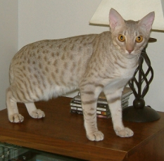 lavender silver colored Ocicat