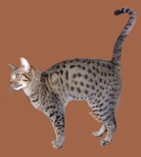 tawny colored Ocicat