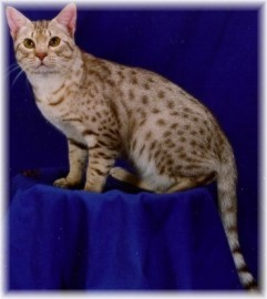 chocolate silver colored Ocicat