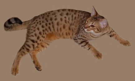 chocolate colored Ocicat