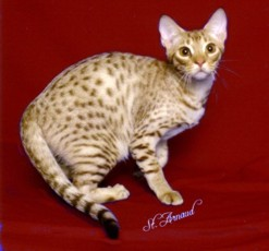 cinnamon silver colored Ocicat