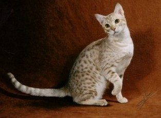 fawn silver colored Ocicat
