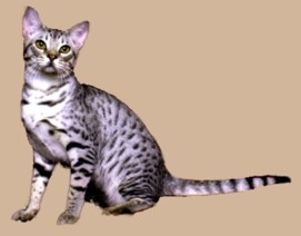 ebony silver colored Ocicat