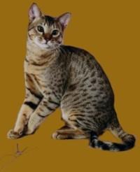 Ocicat Traits Ocicat breeders san an...